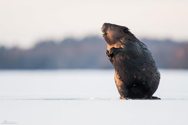 North American Beaver / Castor du Canada