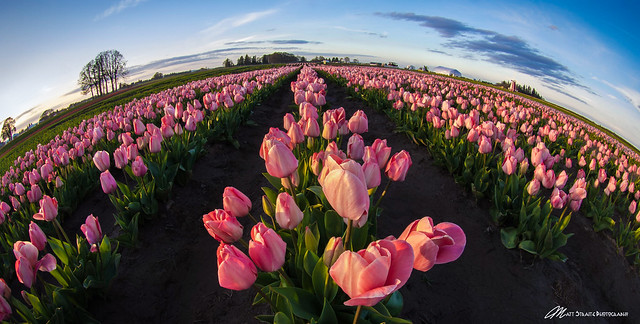 Tulip earth (Explored May 9, 2020)