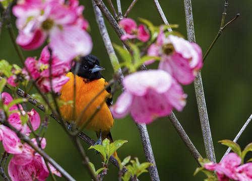 bird nature wild wildlife tree orange pink oriole feathers outdoor songbird greenlawn longisland