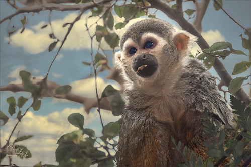 Image of a Squirrel Monkey at the Jacksonville Zoo