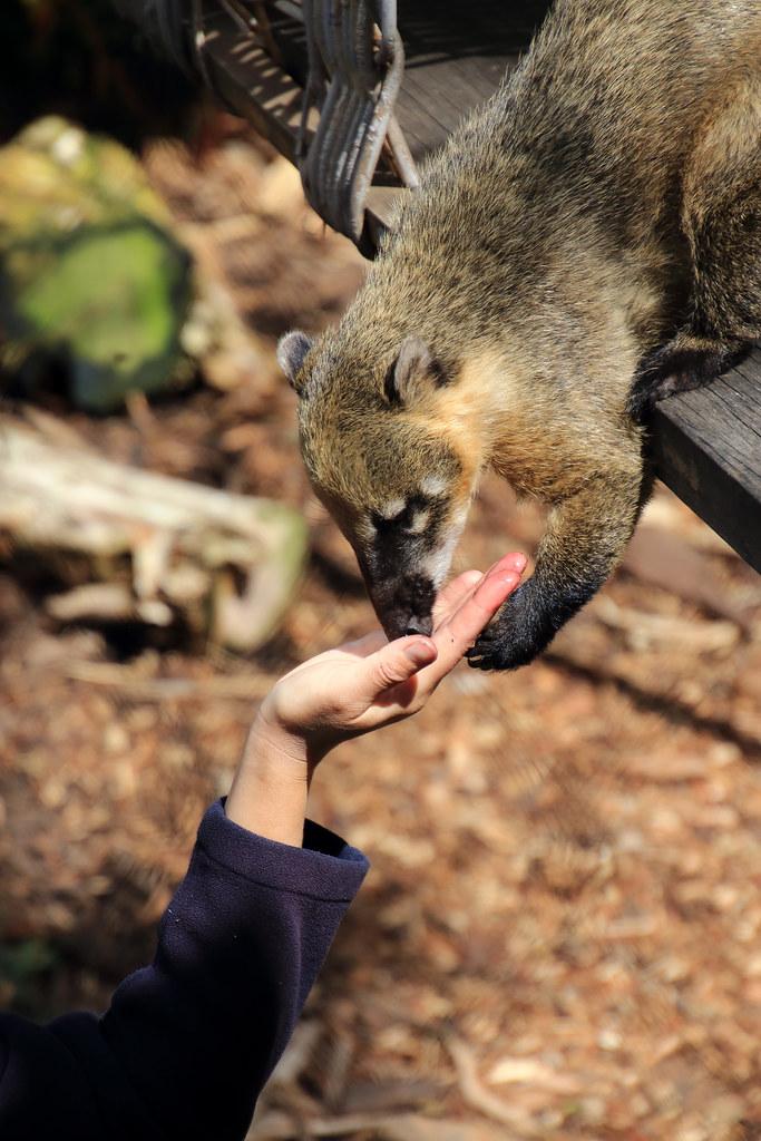 Coati sniff
