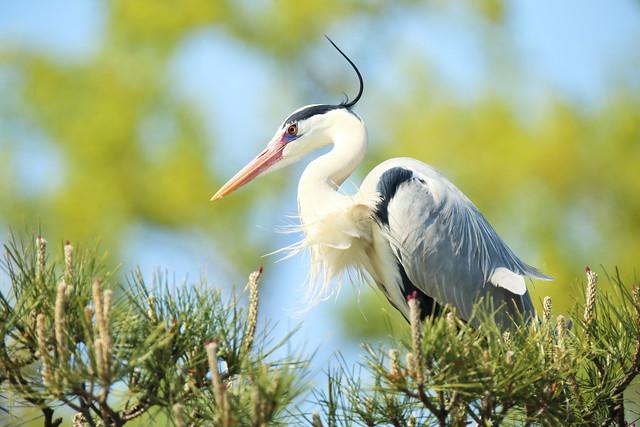 Grey heron staying on a tree