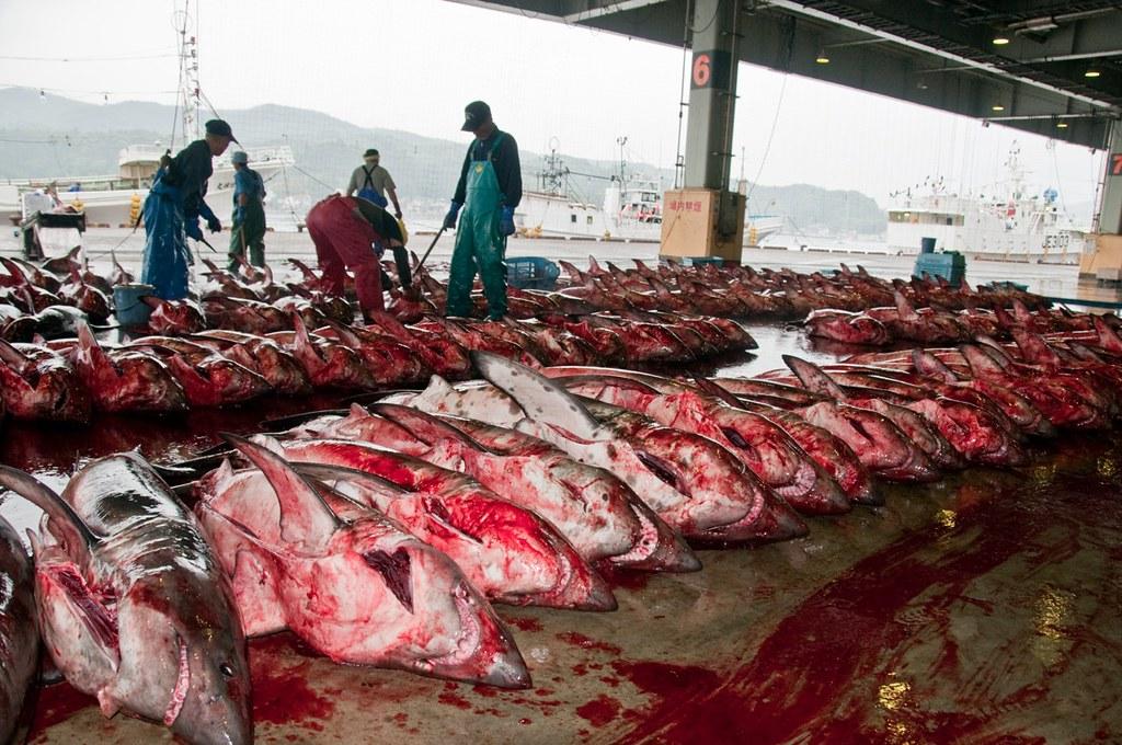 Haineväkalastus, eväpyynti