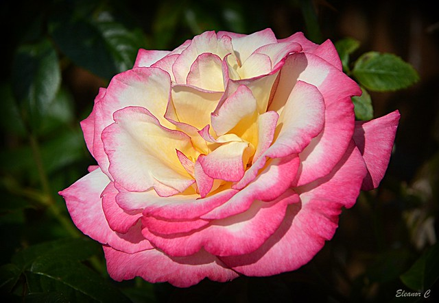 Weekend Rose (Handel)