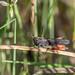 Criquet Noir Ebène - Woodland Grasshopper - Omocestus rufipes