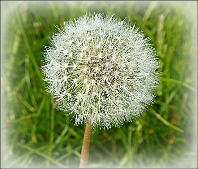 Dandelion Seedhead ...