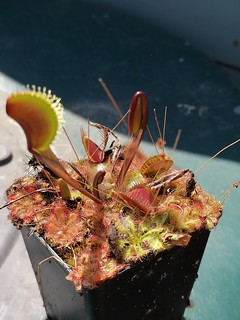 "Red Dragon flytrap with"" stowaway "" Drosera."