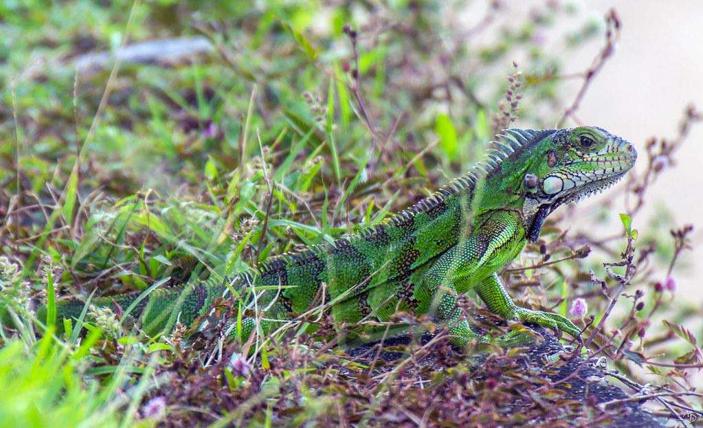 Iguane (Jeune)