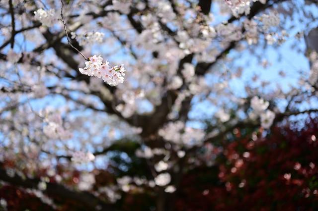 Cherry blossoms in neighborhood,Kawasaki city 2020/03 No.13.