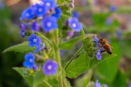 bee bees flower flowers nature beautiful insect close closeup macro macroshot landscape nopeople fujifilm fuji xt100 mirrorless mirrorlesscamera guildford spring purple purpleflower