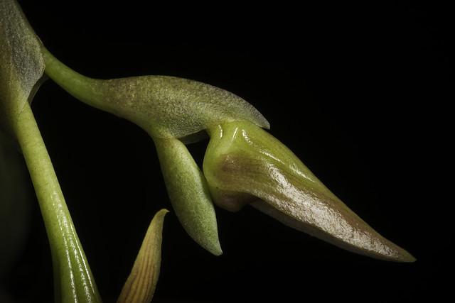 Bulbophyllum basisetum J.J.Sm., Repert. Spec. Nov. Regni Veg. 26: 347 (1929)