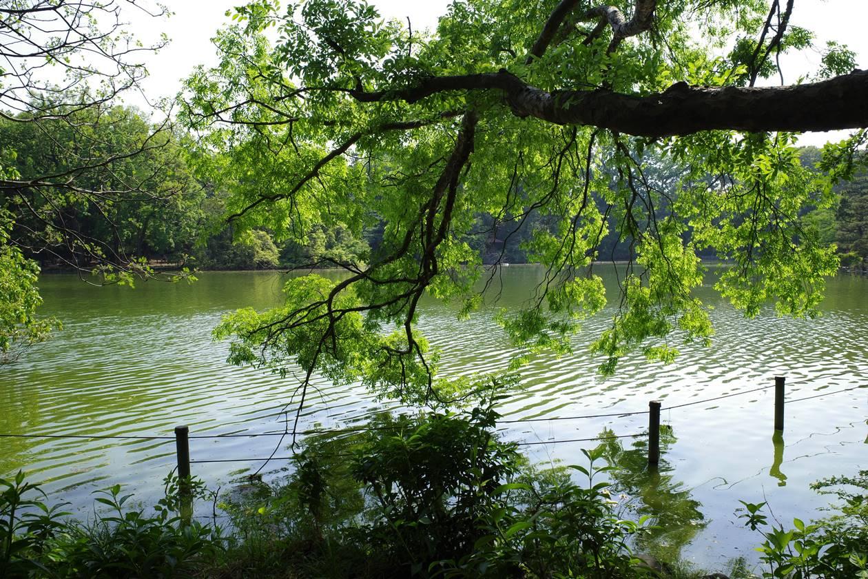 新緑美しい善福寺公園