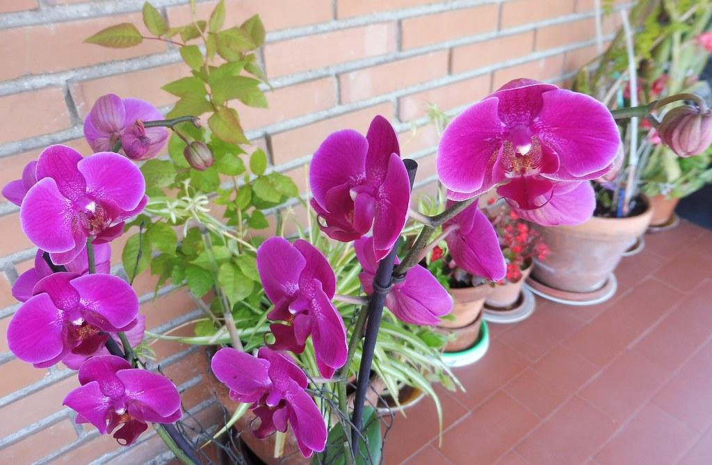 Orquideas Mariposa ,PHALAENOPSIS.
