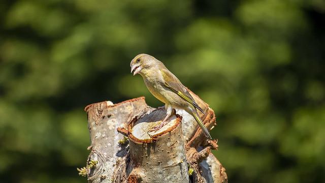 Green Finch (Carduelis chloris)