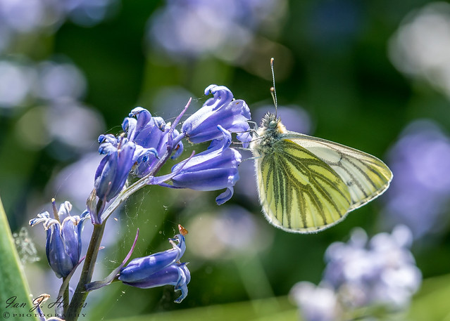 Green veined white Butterfly  ( Explored )