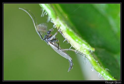 Chironomidae mâle