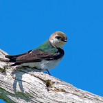 Violet-Green-Swallow-On-Tree