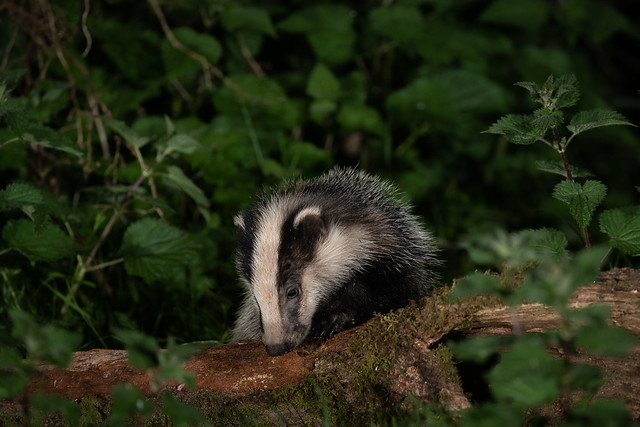 Badger cub, 1 of at least 6 at my local sett