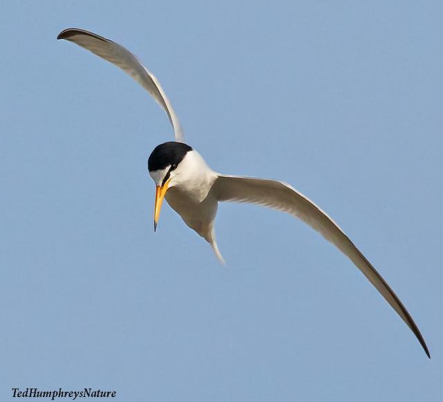 Little Tern above