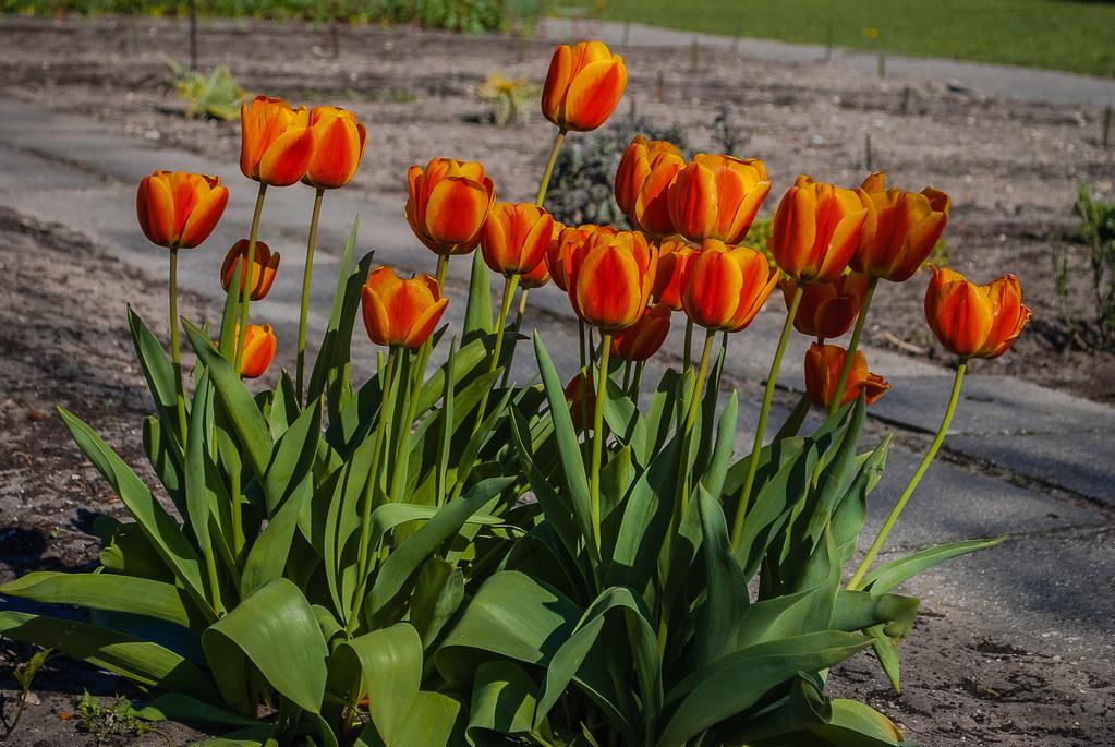 Gorgeous tulips.  16:50:39 DSC_5380