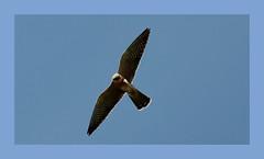Falco Cucolo femmina