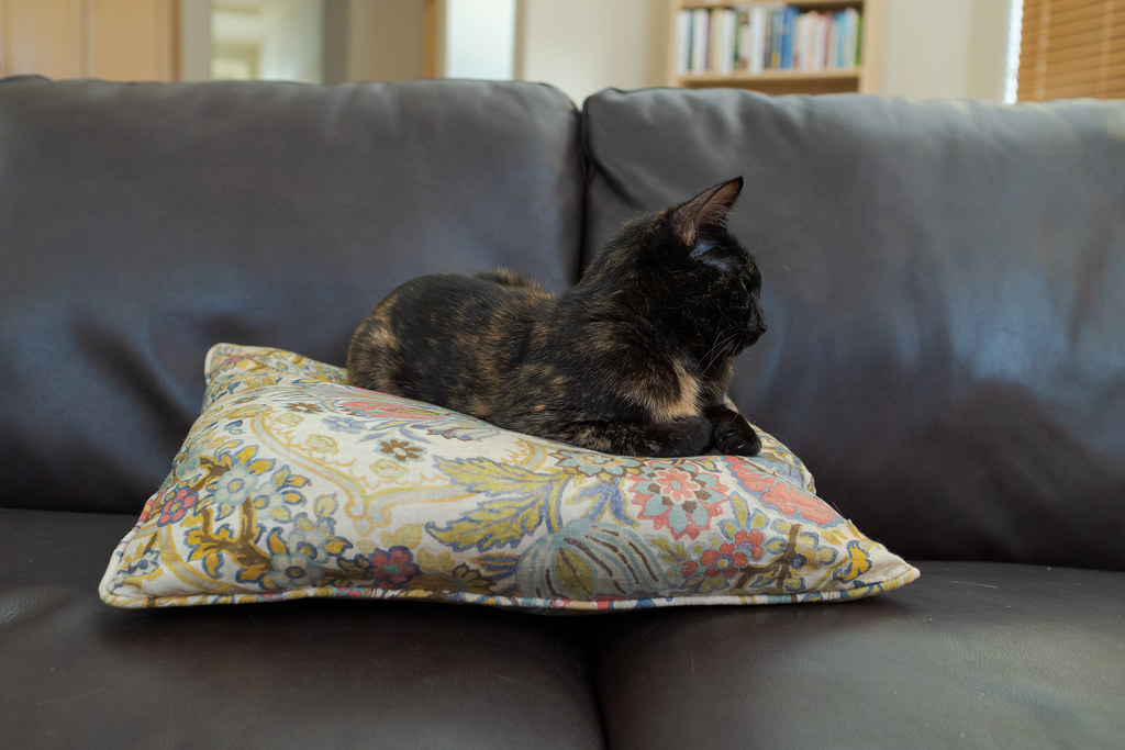 Our cat Trixie sleeps on a throw pillow on a sofa in my wife's office in our house in Scottsdale, Arizona in May 2020