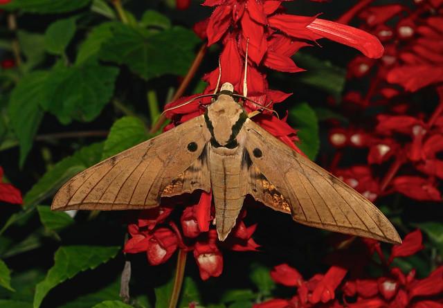 Hawkmoth --- Ambulyx pryeri