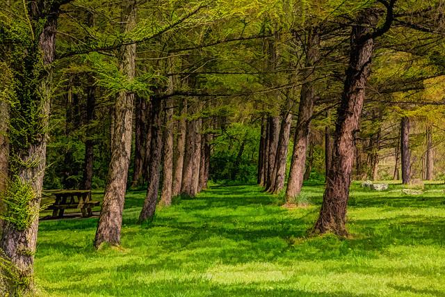 Pine trees path