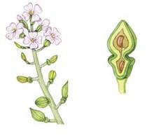 Una pianta pioniera