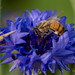 Honey Bee on Cornflower