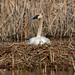 Incubating Swan
