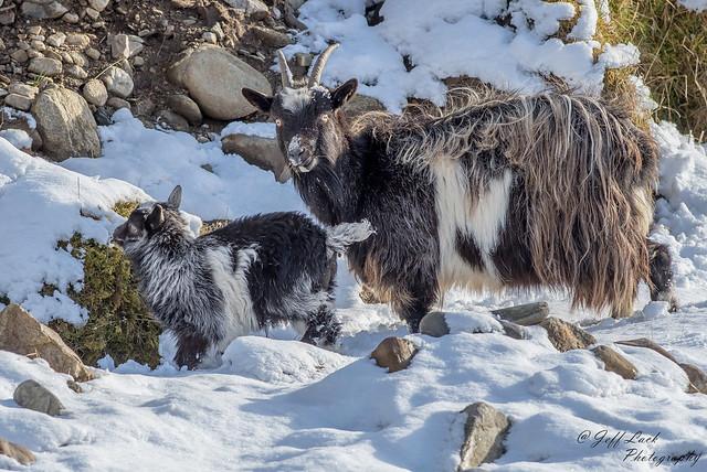 DSC0268  Mountain Goat...