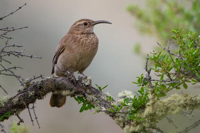 Patagonian Forest Earthcreeper - Upucerthia saturatior