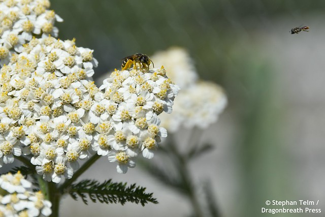DSC_0132_Sweat bee and hoverfly_
