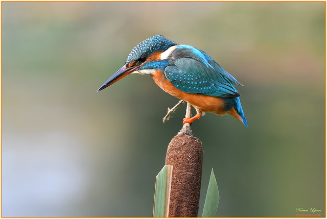 Martin pêcheur d'Europe femelle ( Alcedo atthis - Common Kingfisher )