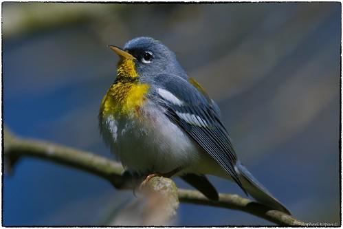 springmigration warblers raphaelkopanphotography nikon 600mmf4evr 14xtciii handheld d500 nature