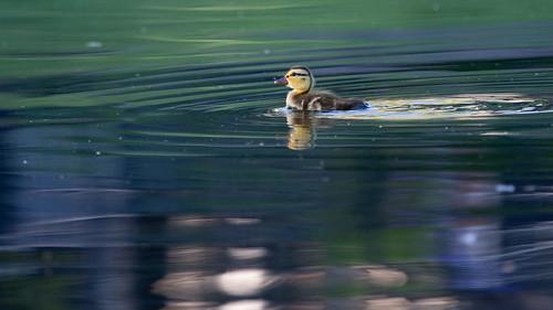 jeffreyneihart nikond7200 nikkor afsnikkor300mmf4epfedvr nikonnikkor300mmf4epfedvr nikonafsnikkor300mmf4epfedvr duck duckling pond swimming baby aguanga california ranchocaliforniarvresort