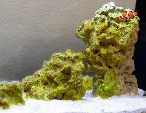 algae growing on dry rock in new saltwater aquarium during ugly stage