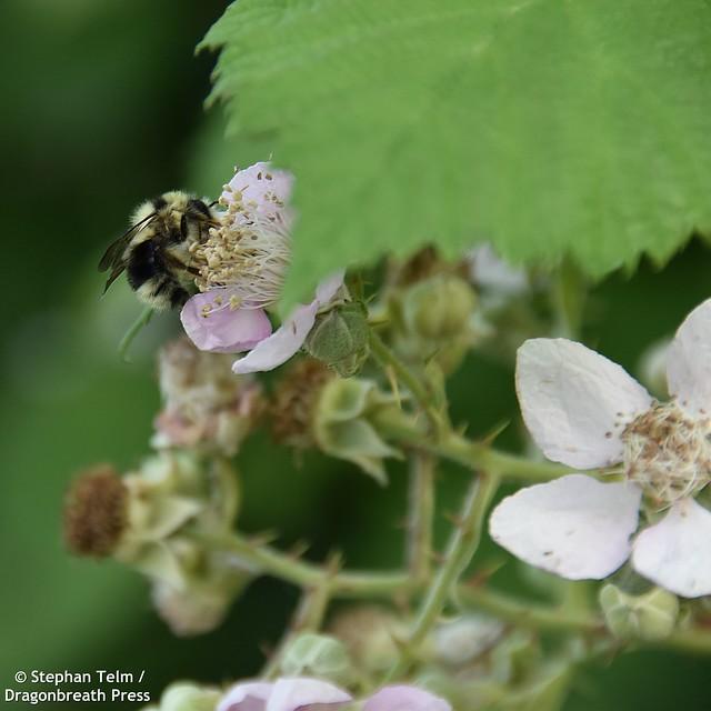 DSC_0056_Black-tailed bumblebee on blackberry blossom