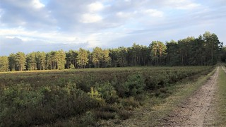 Heather land and spruce forest
