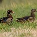 IMG_0575 pair of woodducks, just a walk in the grass..