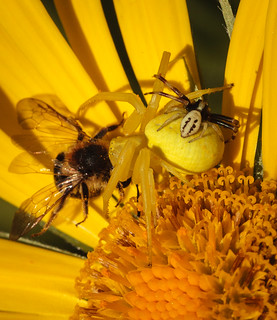 Female crab spider and prey with male