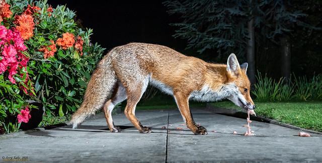 Urban foxes 36 {Explore}