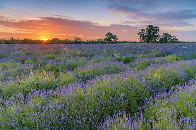 *Sunrise over the lavender field*