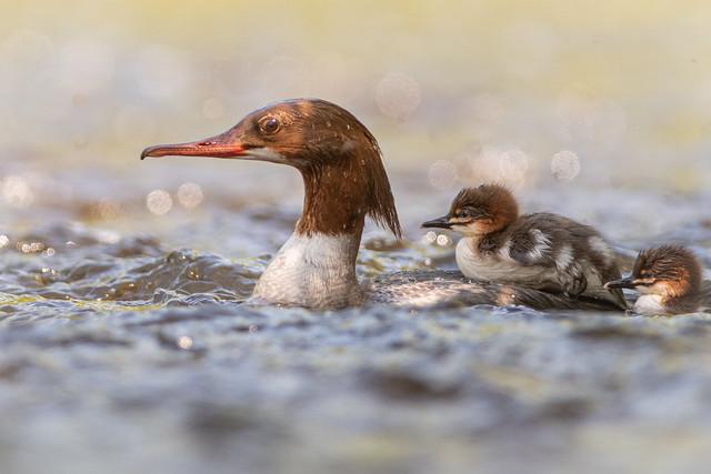 Goosander and chicks