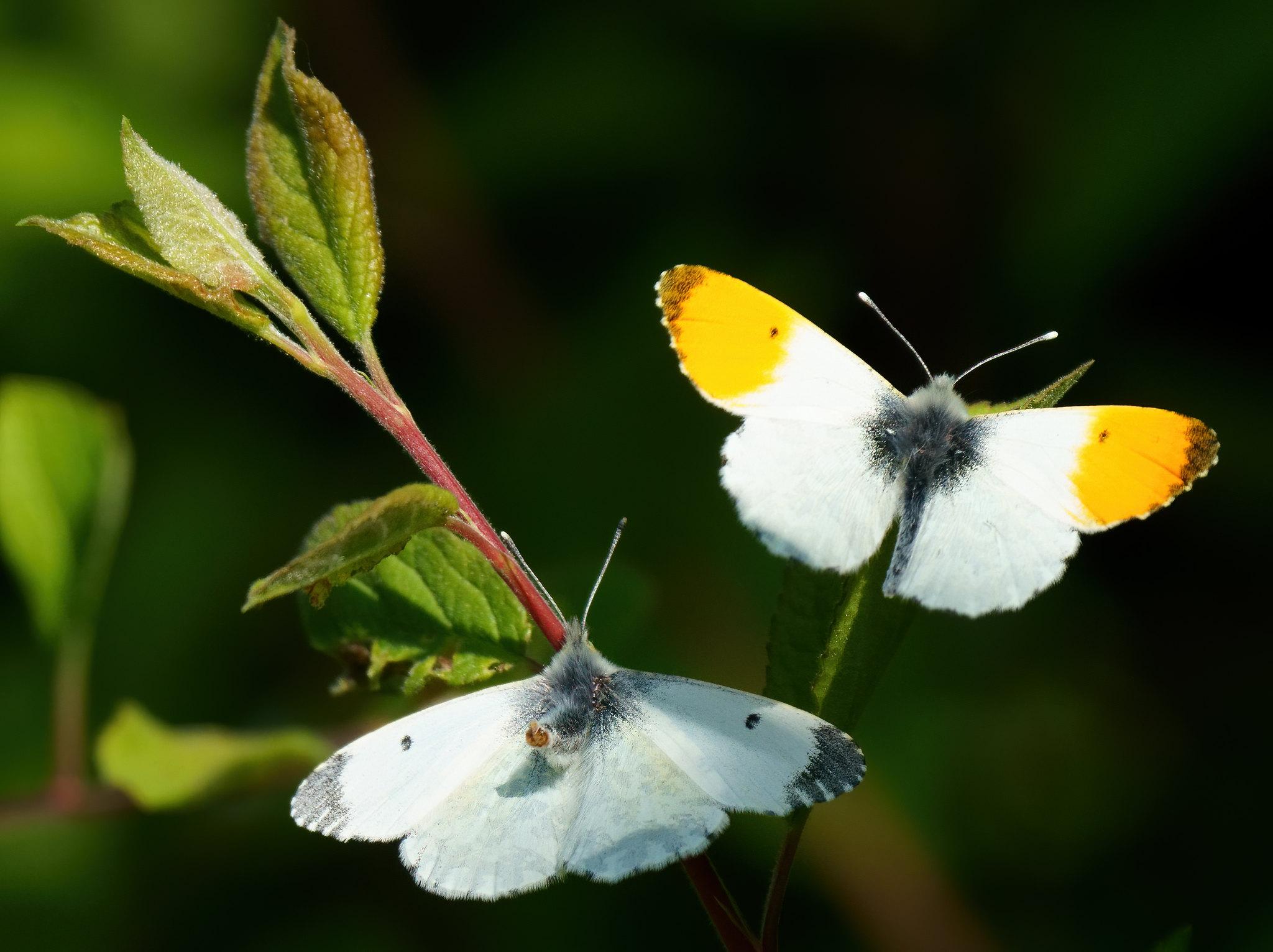 Orange Tip Butterflies Courting/Mating