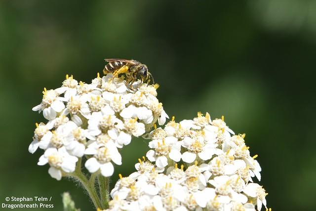 DSC_0180_Sweat bee on yarrow