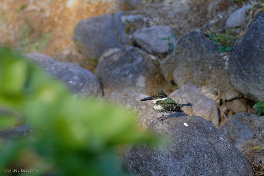 Green kingfisher 1615_DxO