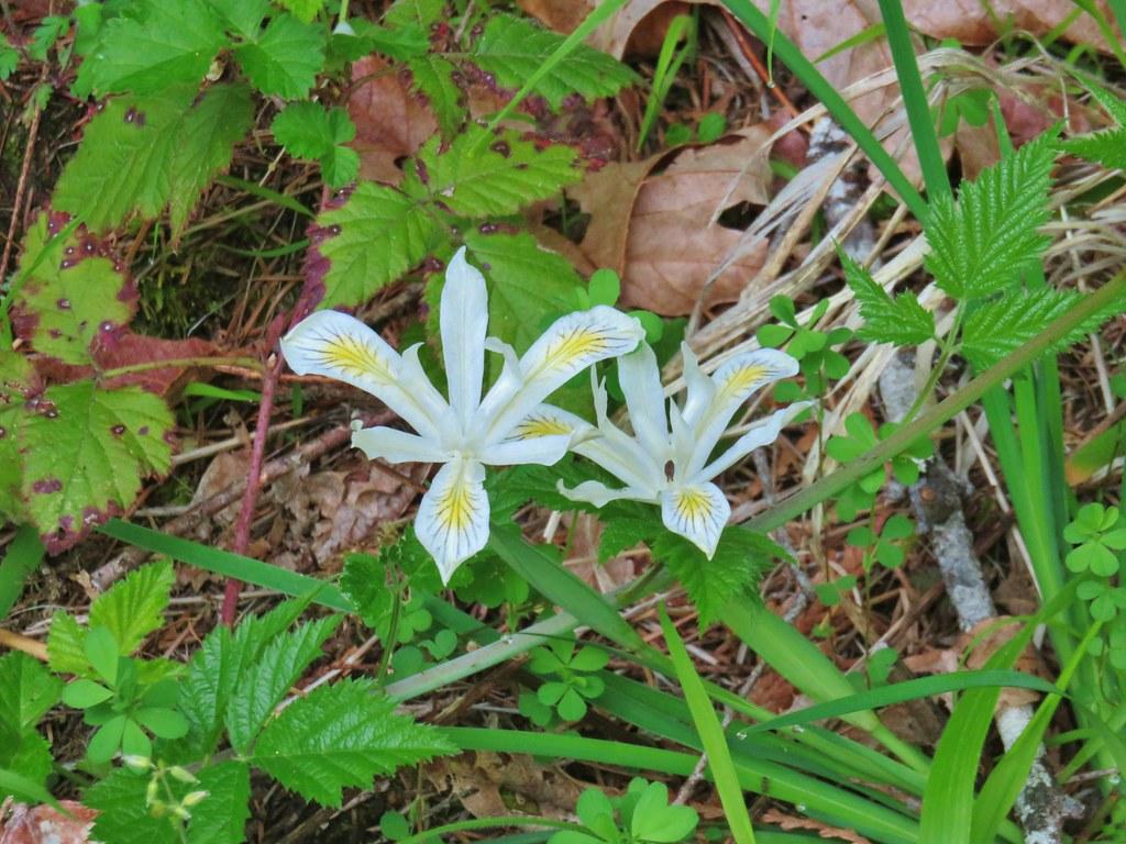 Yellowleaf iris