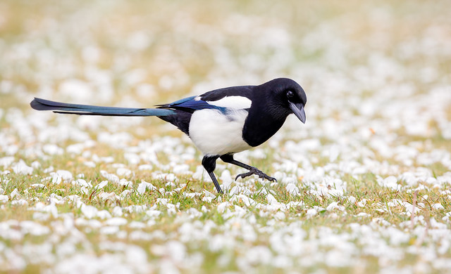 Magpie strutting amidst the Apple Blossom
